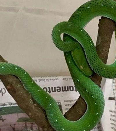 Criador ilegal de serpente rara que pode ser abatida por falta de soro não será punido