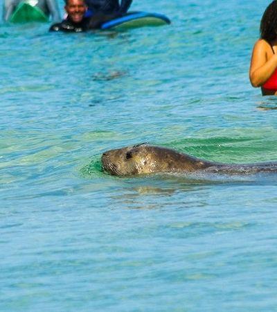 Elefante-marinho encanta ao aparecer nadando na águas cristalinas do Arpoador