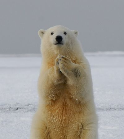 Ursos polares podem desaparecer em 80 anos por causa de mudanças climáticas