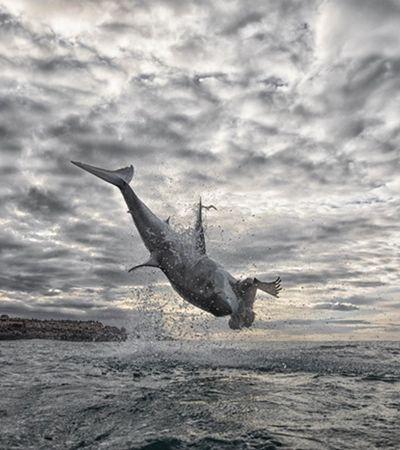 Tubarão bate recorde mundial com salto de quase 5 metros para abocanhar foca; veja o vídeo