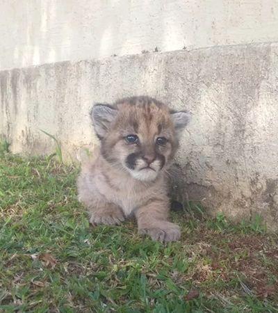 Pumas filhotes são salvos em caixa de papelão às margens de rodovia no RS; veja vídeo