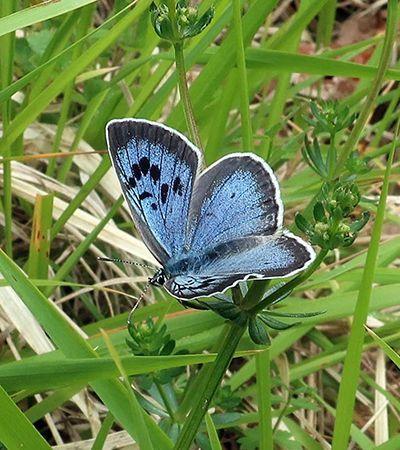 Grandes borboletas azuis extintas na Inglaterra são reintroduzidas depois de 150 anos