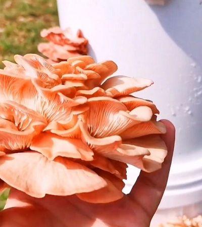 Como cultivar cogumelos comestíveis em casa; um passo a passo