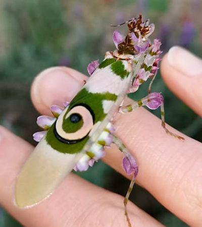 """Este incrível louva-deus """"floral"""" encontrado na África do Sul parece vindo de outro mundo"""