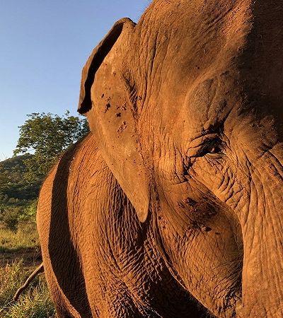 Elefante viaja quase 3 mil km em plena pandemia e encerra 50 anos de confinamento em santuário