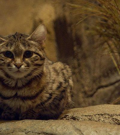 Gato selvagem mais perigoso do mundo prova que tamanho não é documento