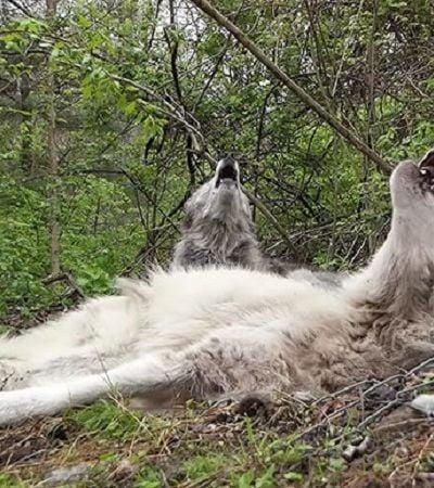 A vida boa da dupla de lobos preguiçosos que não levanta nem para uivar
