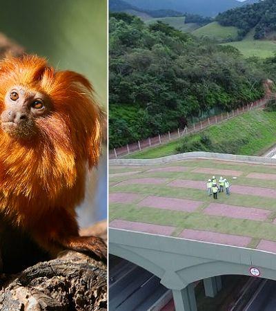 Como 1º viaduto vegetado para proteção de mico-leão dourado expõe falha ambiental