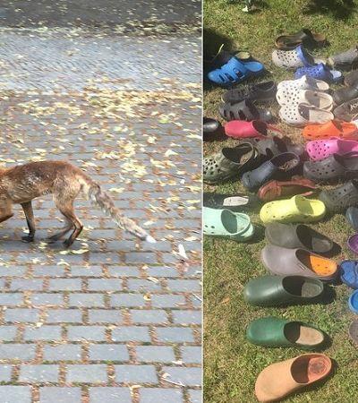 Raposa sapeca é descoberta com coleção de mais de 100 Crocs 'roubados'