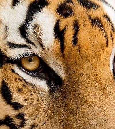 Câmera escondida confirma aumento da população de tigres