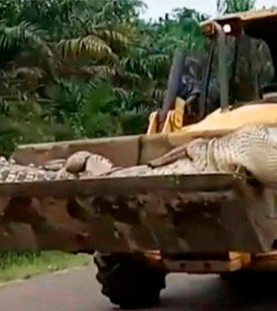 Mataram um crocodilo de meia tonelada e 4,5 metros depois de 50 anos de perseguição