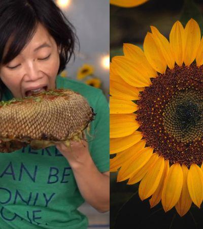 É possível comer o miolo de um girassol como se fosse uma espiga de milho