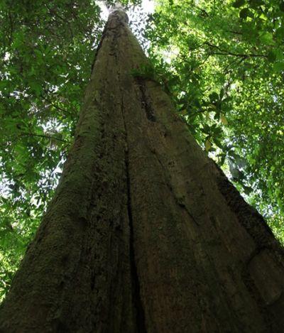A exuberância amazônica com suas árvores imponentes de 80 metros de altura