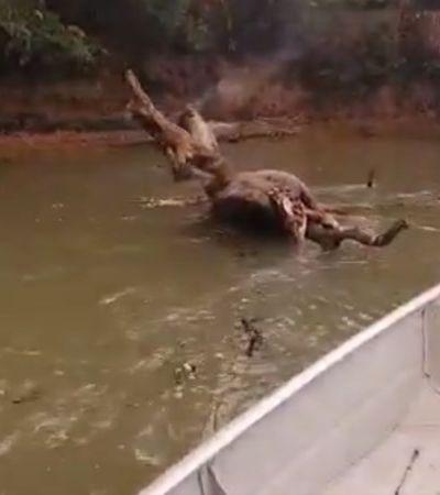 Pantanal: homem se desespera ao encontrar anta queimada em rio: 'Que nojo de vocês'