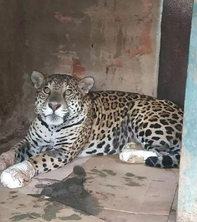 Pantanal: incêndio ameaça maior concentração de onças do mundo. Animal volta a andar após células-tronco