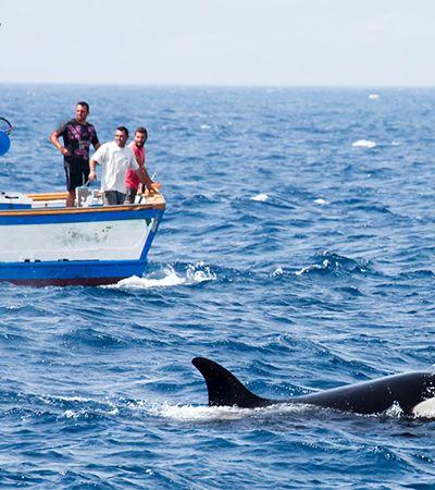 Orcas estão colidindo com barcos de forma orquestrada e confundindo cientistas