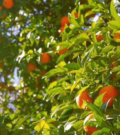 Bactérias encontradas na folha da laranja podem degradar agrotóxicos, aponta estudo