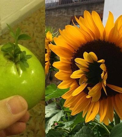 Viviparidade: fenômeno fascinante de frutas e vegetais 'zumbis' que 'dão à luz'
