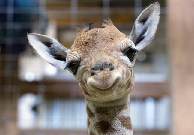 Como as girafas dormem? Fotos respondem a essa pergunta e viralizam no Twitter