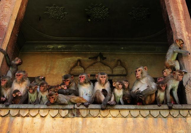 Treta entre 35 macacos derruba parede e mata duas pessoas