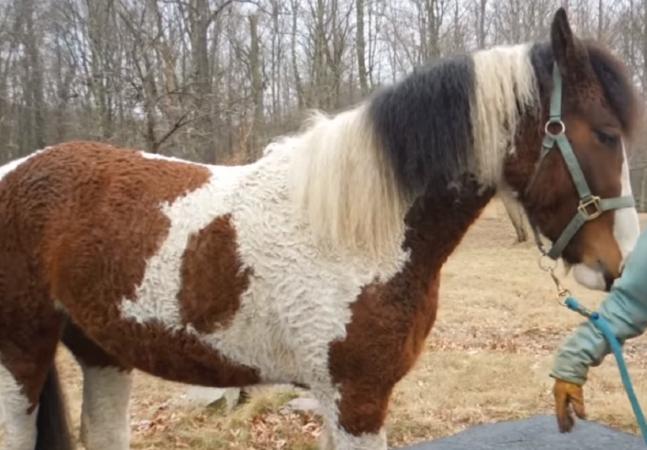 Bashkir Curly: os cavalos 'labradores' cacheados que parecem seres de outro planeta