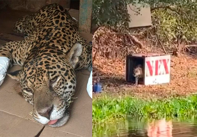 Onça pintada que se tornou símbolo dos animais queimados no Pantanal é libertada