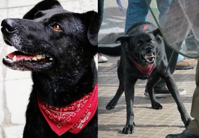 O cão ativista Negro Matapacos morreu há três anos, mas continua sendo lembrado no Chile
