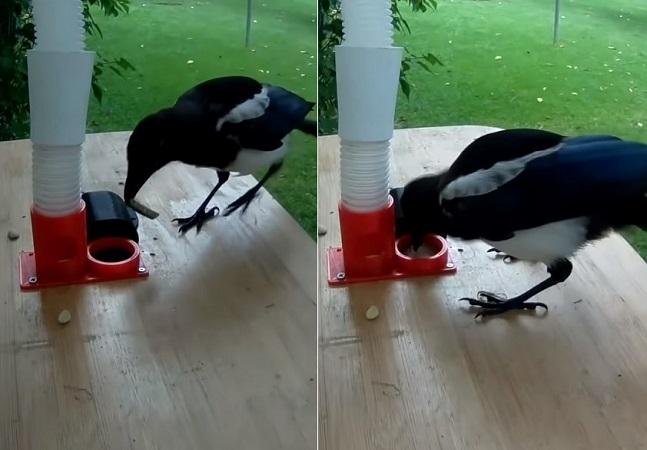 Pássaros trocam tampinhas de garrafa por comida e ajudam a limpar a cidade
