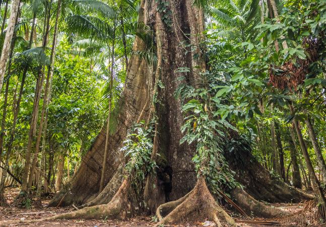 Samaúma: a árvore rainha da Amazônia que guarda e distribui água para outras espécies