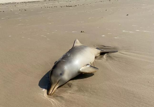 Mortes de baleias e golfinhos em Santa Catarina preocupa cientistas