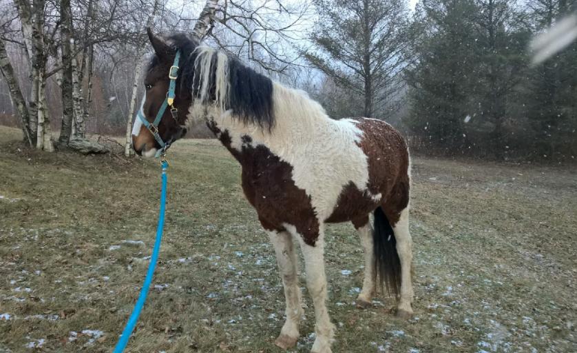 Imagem de um cavalo da raça Bashkir Curly durante o inverno, com pelo mais cacheado