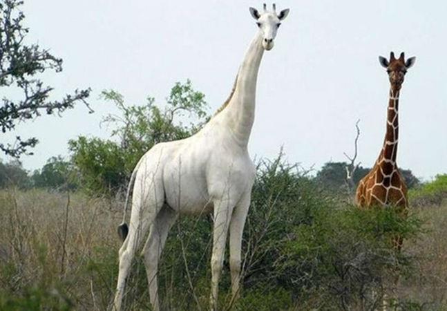 Última girafa branca do mundo após assassinato no Quênia é rastreada por GPS