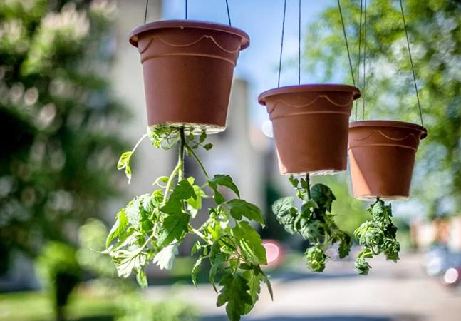 Aprenda a plantar tomate de ponta cabeça para facilitar desenvolvimento da planta