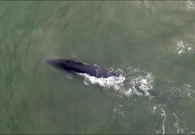 Baleias encantam com nado nas proximidades de praia de SC; veja fotos