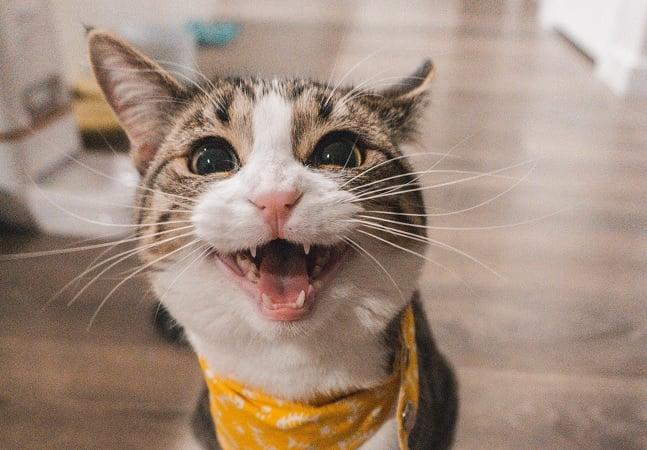 App traduz miados felinos em palavras facilitando comunicação com humanos