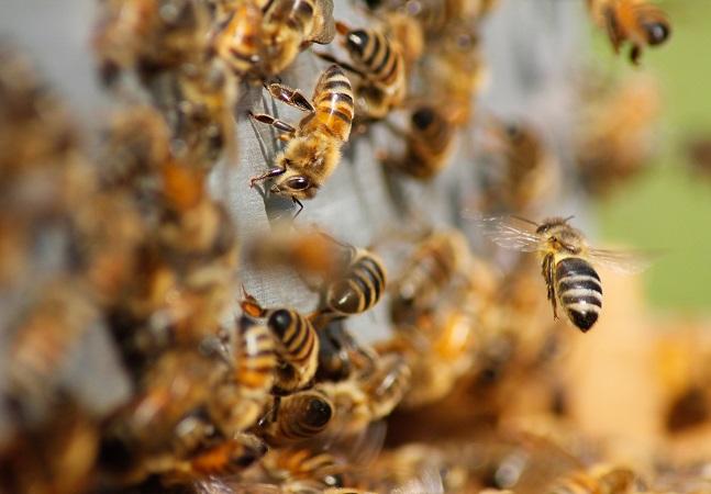 Inédito, mapa global pode salvar vida de abelhas. E de humanos também