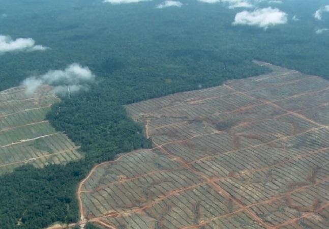 Como a produção de dendê está destruindo uma das maiores florestas da Ásia