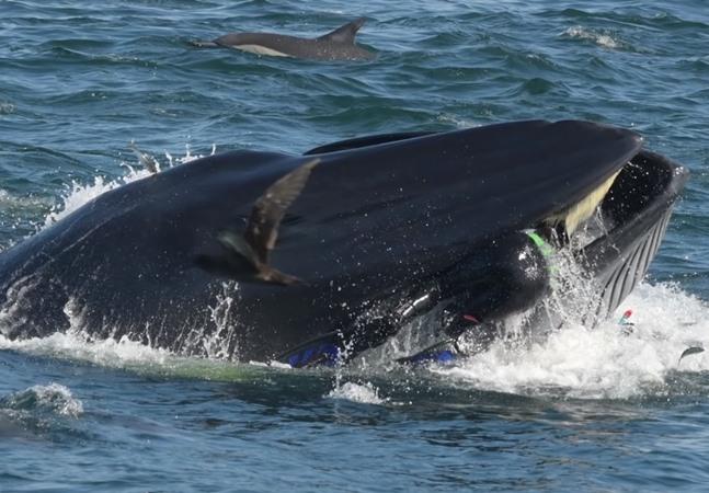 Mergulhador é engolido por baleia e diz: 'abriu a boca para me cuspir'; veja vídeo