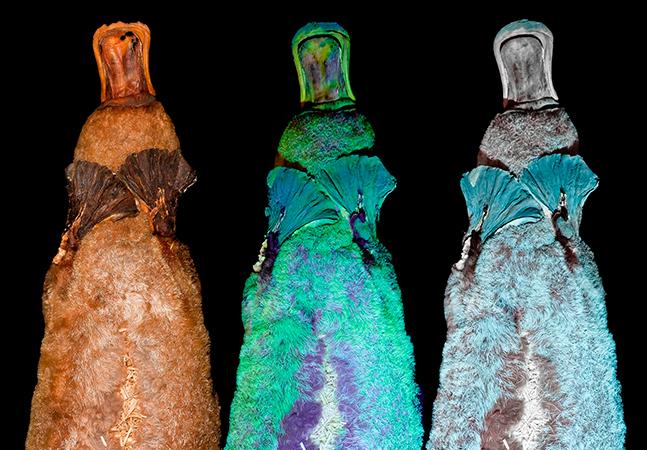 Pesquisa descobre que o ornitorrinco brilha florescente quando exposto à luz UV