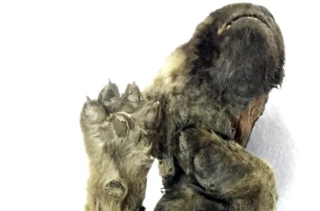 patas do cachorro filhote pré-histórico congelado da Sibéria