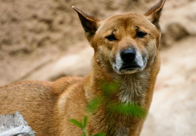 O cachorro mais raro e antigo do mundo foi novamente encontrado na natureza