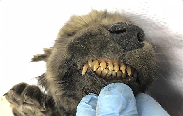 dentes do cachorro filhote pré-histórico congelado da Sibéria
