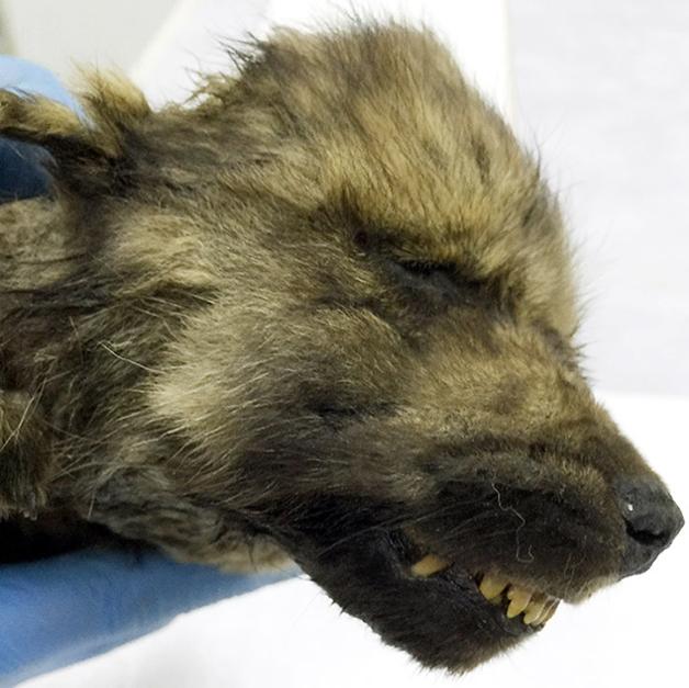 focinho do cachorro filhote pré-histórico congelado da Sibéria