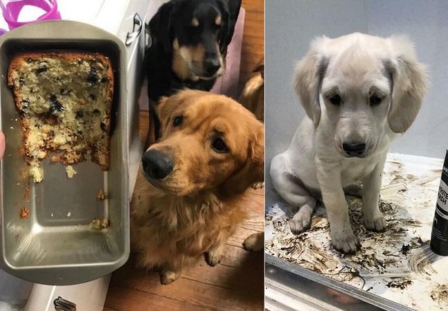Desafio 'cachorro culpado' reúne os cães mais arteiros e sem vergonha da internet
