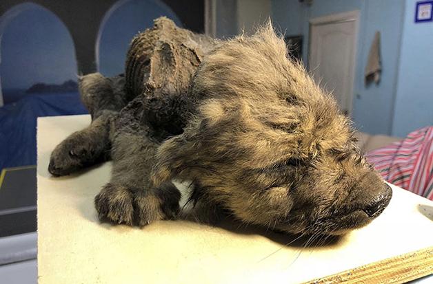 cachorro filhote pré-histórico congelado da Sibéria