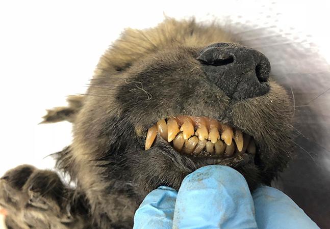 Filhote de 18 mil anos achado congelado na Sibéria pode ser cão mais velho do mundo
