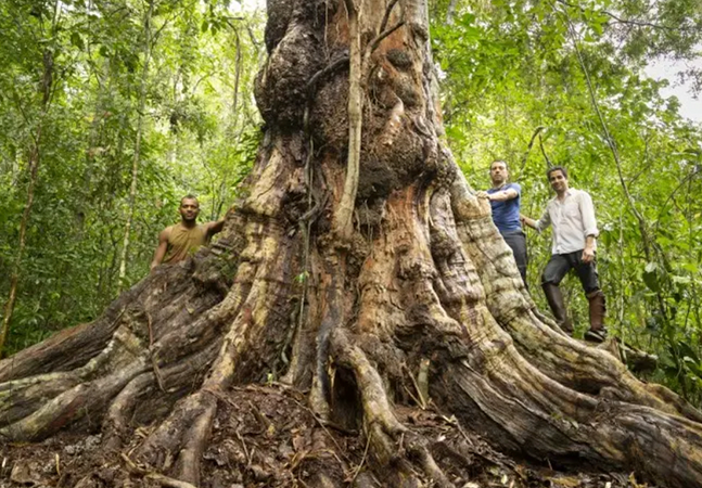 Pau-Brasil gigante e com proporções inéditas na história é encontrado na Bahia