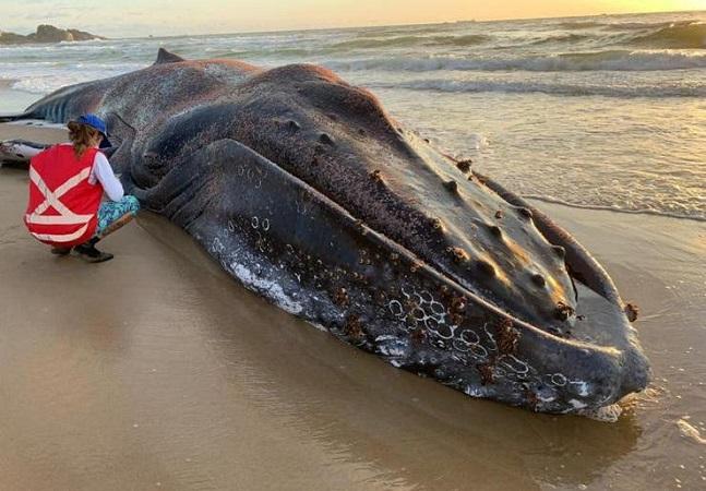 Baleia encontrada em praia é 6ª a morrer encalhada em SC em 2020