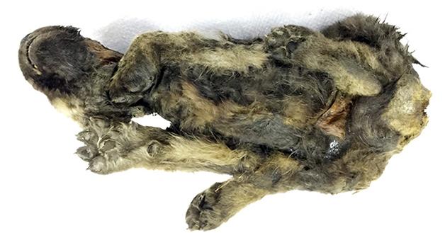 cachorro filhote pré-histórico congelado em permafrost da Sibéria