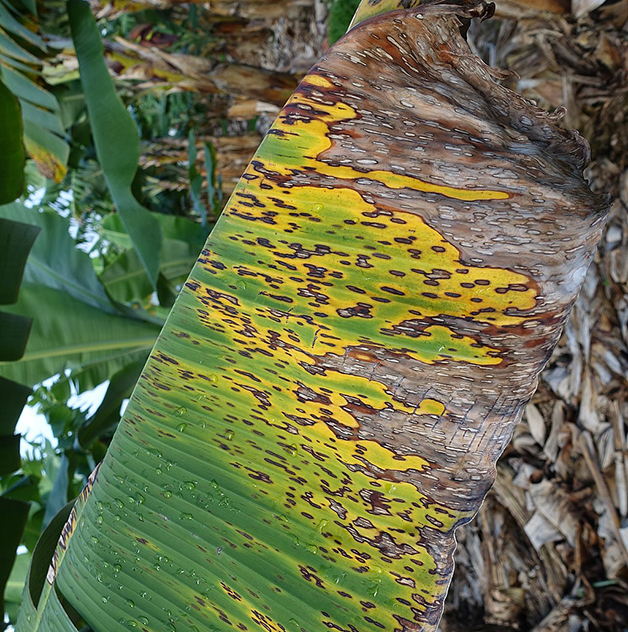 Folha de bananeira infectada pela Sigatoka-Negra